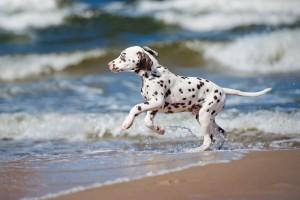 Dalmatiner läuft ins Meer
